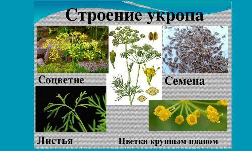 Применение семян укропа при цистите безопасно и эффективно