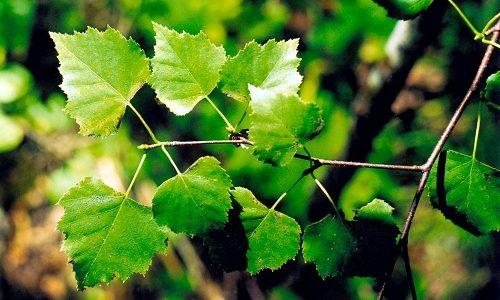 Отвары и настои из березовых листьев помогают очищать кровь и регулировать обмен веществ, помогают при воспалении лимфатических узлов, болезнях почек
