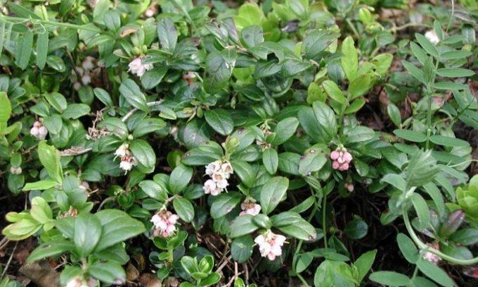 Толокнянка - это еще одно растение, которое очень часто используют при цистите
