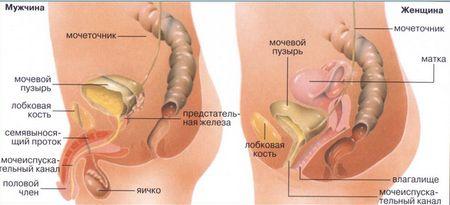 анатомия мочевого пузыря мужчины и женщины