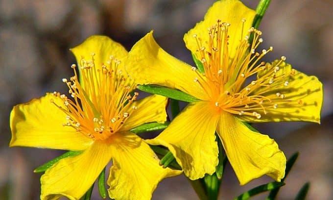 Болезни мочеполовой системы следует лечить с применением популярного народного средства - настойки из травы зверобоя