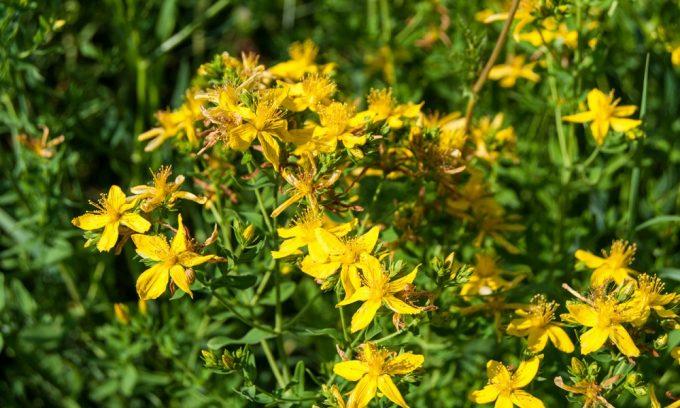 Для лечения цистита растения должны обладать антибактериальными свойствами, это такое растение, как зверобой